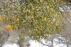 Mistletoe growing on fruit trees in an orchard in Worcestershire. Viscum album