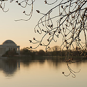 WASHINGTON DC--Washington DC's famous cherry trees around the Tidal Basin leading up to the peak bloom in the spring.