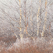 Birch tree (Betulaceae) with frost on the branches and  bushes in the front.