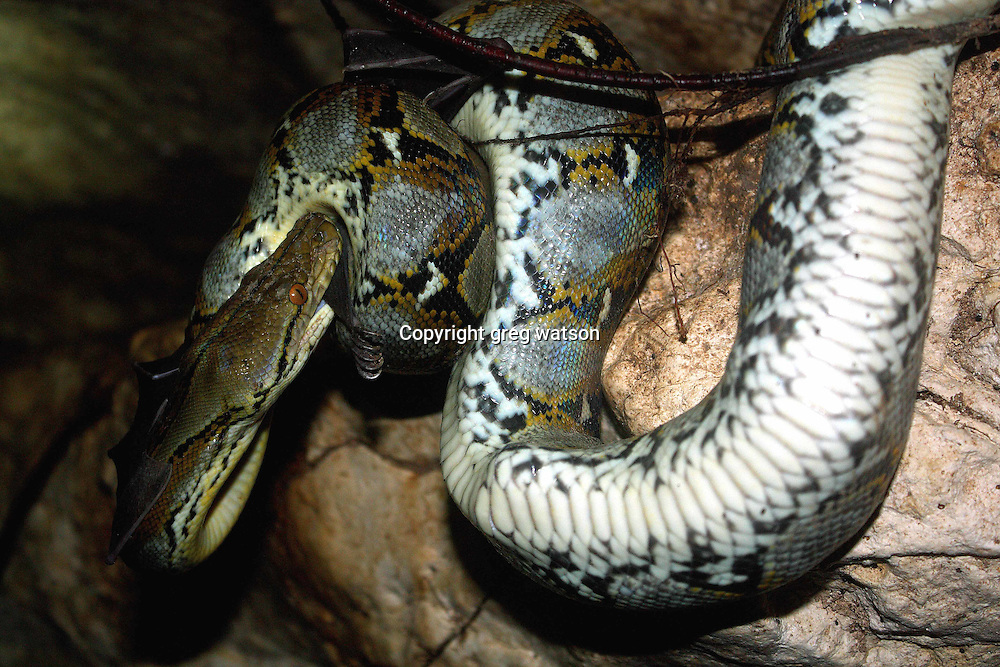 Reticulated Python eating a bat; Istana Ular, Flores, Indonesia