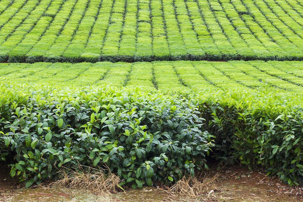 Path through tea  plantation crop  in tropical Far North Queensland, Australia