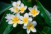 Frangipani flowers after a rain storm. (Plumeria Rubia. - Also know as Plumeria, West Indian Jasmine) <br />