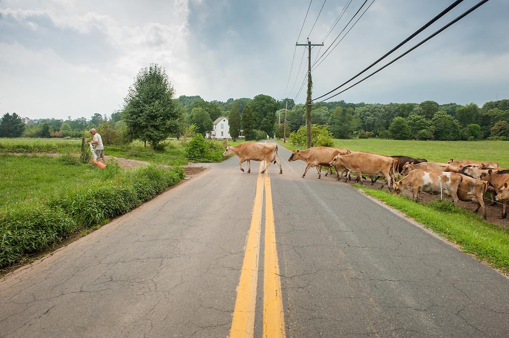 Farmer leading dairy cows across the road near Long Green, Maryland, USA