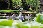 Two young Pied-Billed Grebes (Podilymbus podiceps) swim in the wetlands of the Washington Park Arboretum in Seattle, Washington as their mother watches.