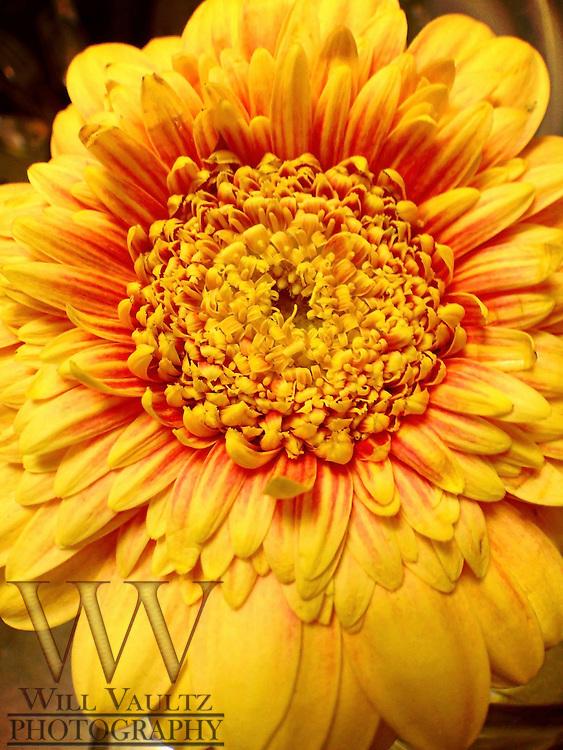 Close-up Gerbera Daisy Flower