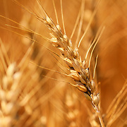 &quot;Golden Grains of Wheat&quot;<br />