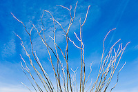 Ocotillo plant Sanoran Desert Arizona USA&amp;#xA;<br />