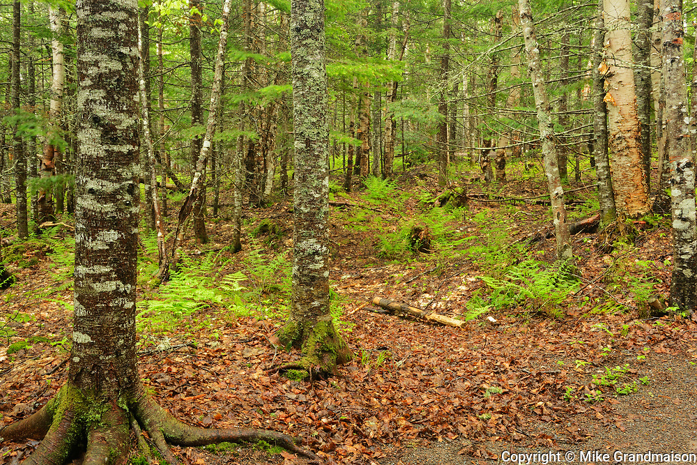 Acadian forest interior<br /> Hopewell Rocks Provincial Park<br /> New Brunswick<br /> Canada