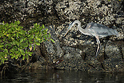 Great Blue Heron (Ardea herodias)<br /> Black Turtle Cove<br /> Santa Cruz<br /> Ecuador<br /> South America