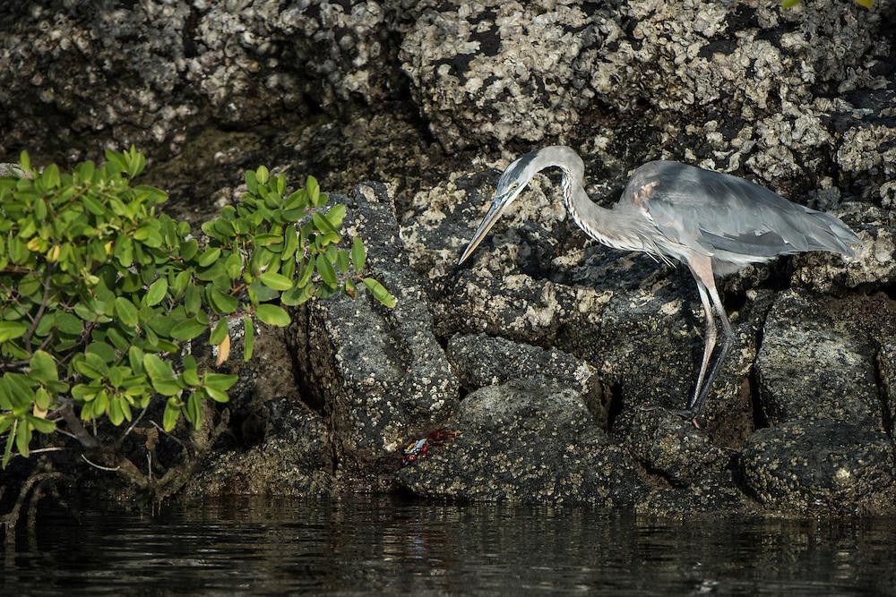 Great Blue Heron (Ardea herodias)<br /> Black Turtle Cove<br /> Santa Cruz<br /> Ecuador<br /> South America