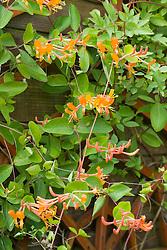 Lonicera 'Mandarin'. Honeysuckle