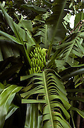 Bananas - Jamaican Garden  - Goldeneye