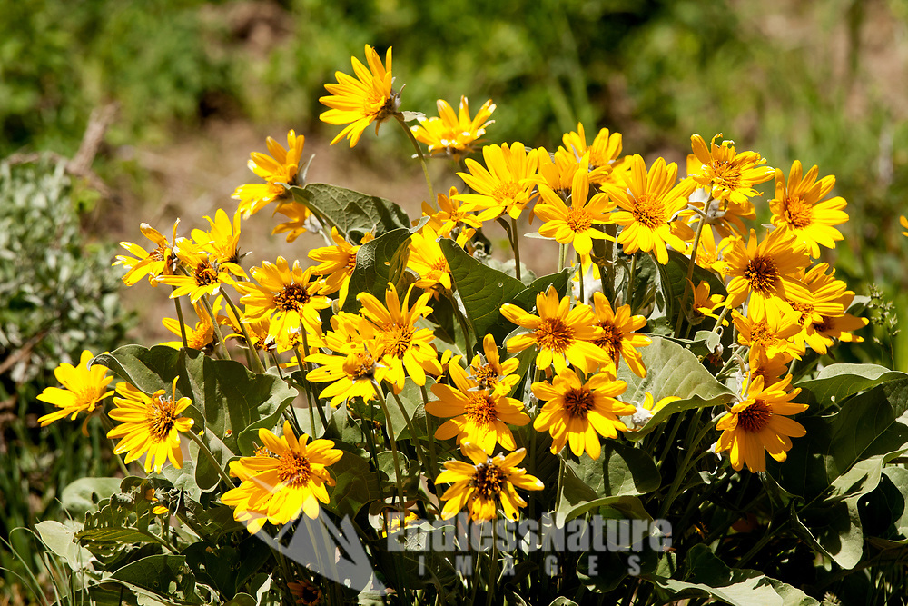 Little Yellow Sunflowers grow in western mountains in bunches along the hillsides.