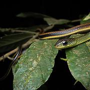 White-bellied Rat Snake (Ptyas fusca) juvenile in Lam Nam Kra Buri national marine park, Thailand