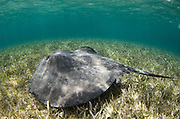 Caribbean Whiptail Ray (Himantura schmardae)<br /> Shark Ray Alley<br /> Hol Chan Marine Reserve<br /> near Ambergris Caye and Caye Caulker<br /> Belize<br /> Central America