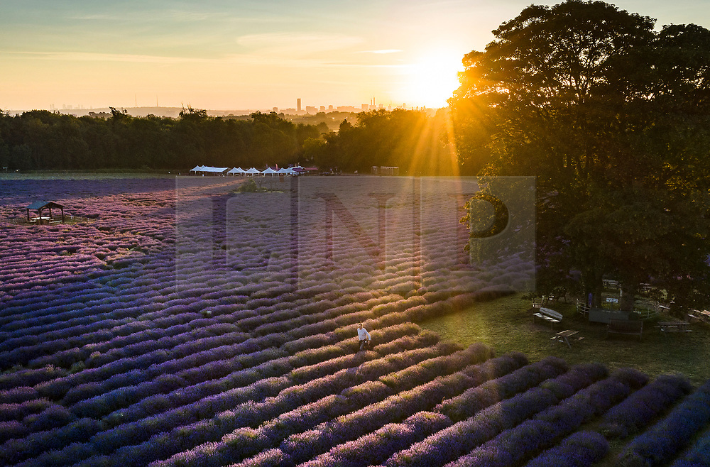 © Licensed to London News Pictures. 04/07/2019. Banstead, UK. Sunrise at Mayfield Lavender Farm on the North Downs, where lavender production first flourished more than 100 years ago. Organic oils, fragrances, food, lavender bunches and other gifts are for sale to visitors to the farm and at a nearby nursery and gift shop. Images taken with the permission of Mayfield Lavender. Photo credit: Peter Macdiarmid/LNP