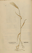 Hordeum grain 16th century, watercolor, hand painted woodcutting botanical print from Leonhart Fuchs book of herbs: De Historia Stirpium Commentarii Insignes Published in Basel in 1542 The original manuscript this image is taken from shows signs of water damage