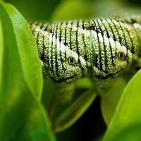 Hiding Caterpillar
