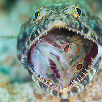 Slender Lizardfish, Saurida gracilis, eating a juvenile Grouper, Epinephelus sp, Miri, Sarawak, Malaysia, Borneo, South China Sea,