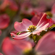 A dogwood blooms in Lexington, Ky., on 4/12/10. Photo by David Stephenson