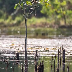 """""""Gavião-caramujeiro (Rostrhamus sociabilis) fotografado em Linhares, Espírito Santo -  Sudeste do Brasil. Bioma Mata Atlântica. Registro feito em 2013.<br /> <br /> <br /> <br /> ENGLISH: Snail kite photographed in Linhares, Espírito Santo - Southeast of Brazil. Atlantic Forest Biome. Picture made in 2013."""""""