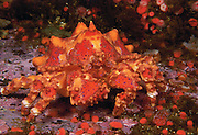 2003 Honorable Mention in the Nature's Best International Photography Awards Competition (Oceans); A  Puget Sound King Crab, Lopholithodes mandtii, walks among anemones in Discovery Passage, Vancouver Island, British Columbia, Canada