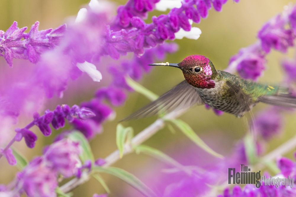 Anna's hummingbird feeding on nectar, with pollen on beak.