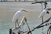 Egretta garzetta - Little Egret, This small white heron is native to warmer parts of Europe and Asia, Africa and Australia. It eats crustaceans, fish and insects that it catches in shallow water. Photographed at the Sea of Galilee, Tiberias, Israel in May.