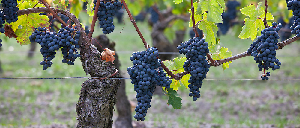 Ripe Cabernet Franc grapes on ancient vine in sandy soil at Chateau Cheval Blanc in St Emilion in the Bordeaux region of France