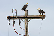 Bald eagles on a power pole, Sequim WA