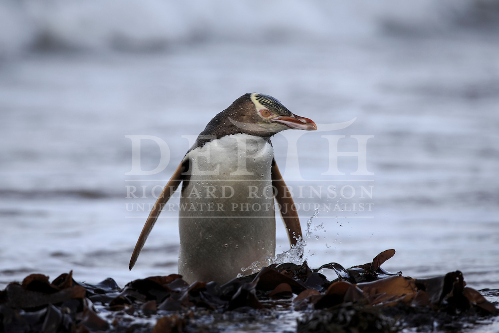 Megadyptes antipodes (Yellow eyed penguin) return from foraging at sea, Sandy Bay, Enderby Island, Auckland Islands, New Zealand.<br /> 09 January 2016<br /> Photograph Richard Robinson &copy; 2016