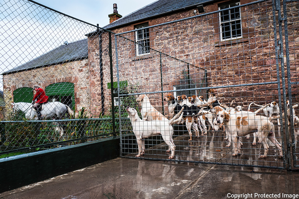 Foxhounds of the Jedforest Hunt wait to go hunting.