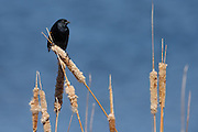 Male Red Winged Blackbird on cattails, Walden Ponds Wildlife Habitat, Boulder Colorado