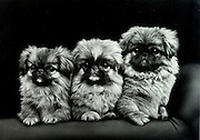 portrait of three little dogs
