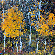 Motion capture of wind blowing through aspen forest near Aspen Colorado.