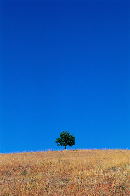 A lone tree stands at top of a hill.  Custer State Park, South Dakota.