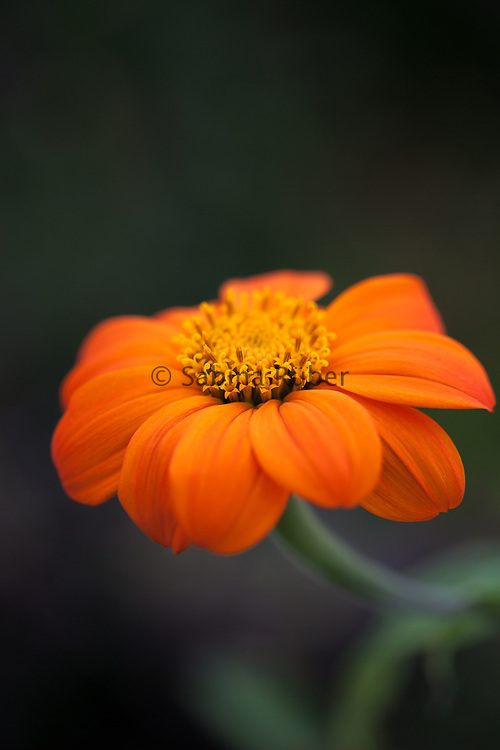 Tithonia rotundifolia 'Torch' - Mexican sunflower