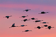 Sandhill cranes (Grus canadensis) fly in formation at sunset over the Bosque del Apache National Wildlife Refuge in New Mexico.