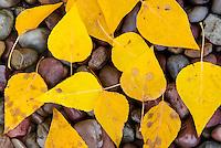 Fallen leaves on rocks alonfg the shore of Lake McDonald Glacier National Park Montana USA