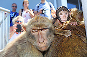 Barbary Macaques The Rock of  Gibraltar