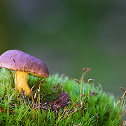 Bolete mushroom in grass against a green background, France