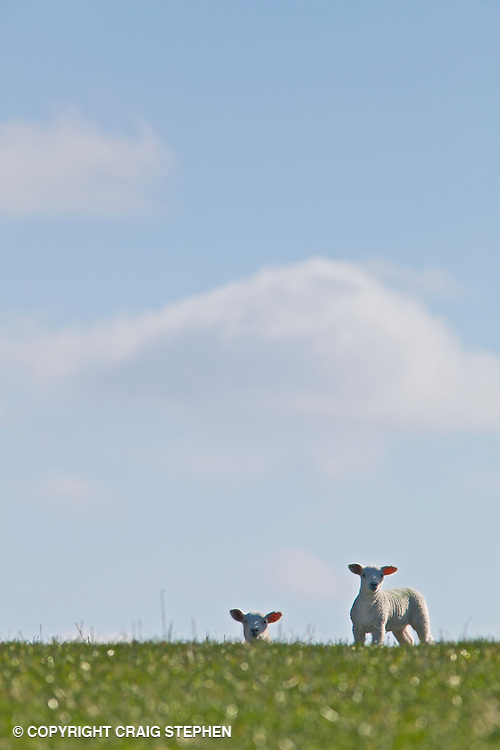 Spring lambs in green pasture field on sunny day against the skyline
