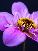 Dahlia seedling of 'Teesbrooke Redeye' - collarette dahlia