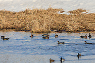 A group of Woodduck Drakes pursue a lone hen during the Spring mating season.