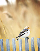 Shore birds found along Long Island's south shore at Jones Beach.  Known for its natural habitat.  You can find snowy owls, other raptors, snow buntings and of course sanderlings, plovers, oystercatchers and more.