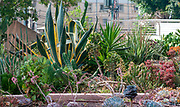 Sansevieria trifasciata in a Cactus and succulent garden Photographed in Tel Aviv, Israel in May
