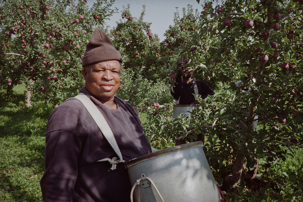 A picker amongst the many apples ready for harvest that day.