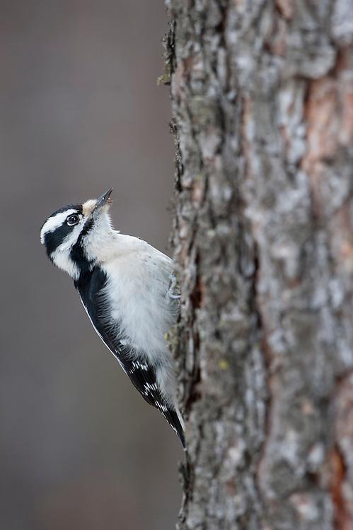 A downy woodpecker (Picoides pubescens) on the side of a ponderosa pine, Missoula, Montana