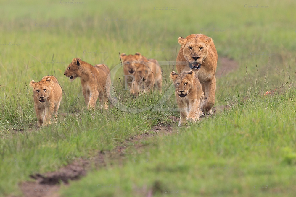 Lioness with cubs walking in Maasai Mara Kenya Africa<br />