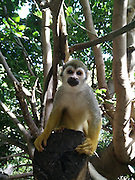 Squirrel monkey (Saimiri sciureus) picking fruit in a tree. This monkey is native to tropical South and Central America. It is exclusively arboreal, and very rarely descends to the ground. Its diet consists of fruits and berries, as well as small insects, frogs and birds' eggs. It is a very small monkey, reaching a length of only 30 centimetres. Photographed in Captivity